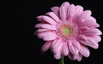 макро, розовая, гербера, пинк