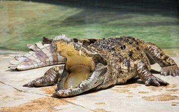 зубы, крокодил, пасть, зубки, рептилия, во рту, пресмыкающееся