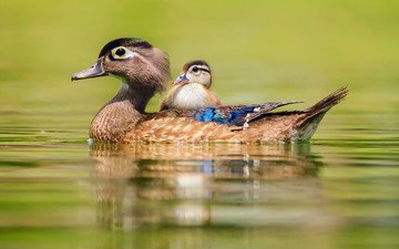 water, birds, duck, baby duck