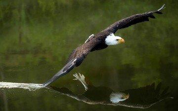 вода, отражение, полет, крылья, орел, птица, животное, беркут, летающие, раптор, летны, крылышки, белоголовый орлан, птаха, blad eagle