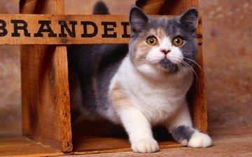 глаза, морда, кот, мордочка, усы, кошка, животное, нос, коробка, мех, взор, короб, whiskers