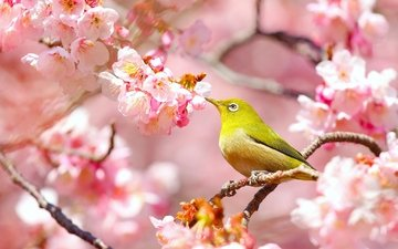 flowering, branches, bird, cherry, sakura, flowers, japanese, white-eyed
