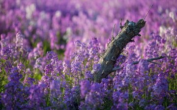 цветы, природа, лето