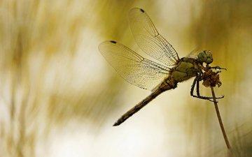 макро, насекомое, фон, стрекоза, стебелёк