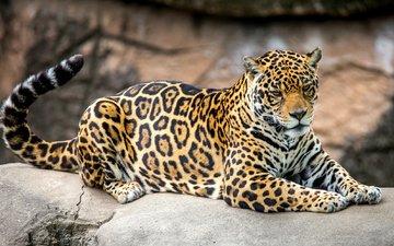 пятна, хищник, ягуар, хвост
