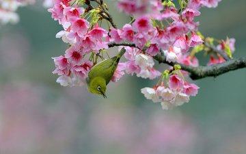 ветка, цветение, птица, вишня, сакура, цветки, японская белоглазка