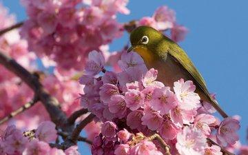 ветка, цветение, птица, вишня, сакура, цветки, японская, белоглазка