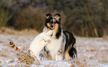 animals, cat, dog, friendship, collie, pets
