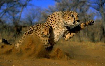 песок, кошка, прыжок, пыль, гепард, дикая