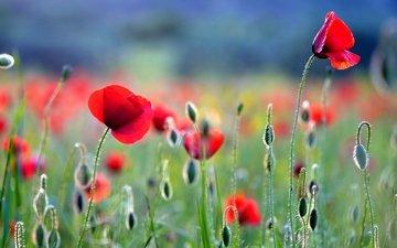 цветы, бутоны, поляна, маки, луг, мак