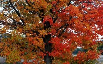 дерево, листья, осень, расцветка, опадают, осен, листья, дерево