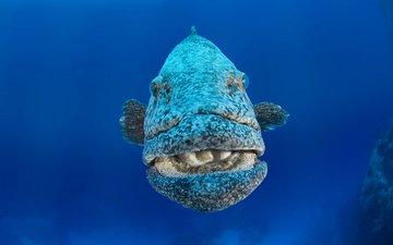море, океан, рыба, merou patate