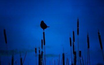 ночь, птица, силуэт, камыши
