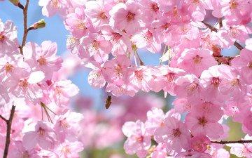 дерево, насекомое, ветки, весна, розовый, вишня, сакура, пчела