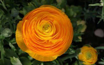цветы, жёлтая, желтые, боке, цветком, ранункулюсы
