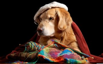 muzzle, look, glasses, dog, takes, spokes, thread, retriever, golden retriever, knitting