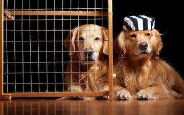юмор, клетка, собаки, золотистый ретривер, узники