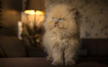 кошка, котенок, пушистый, голубые глаза, рыжий
