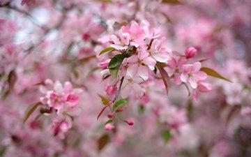 дерево, цветение, весна, розовый