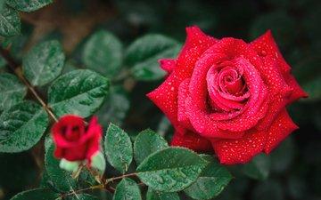 макро, капли, роза, красная, бутон, королева