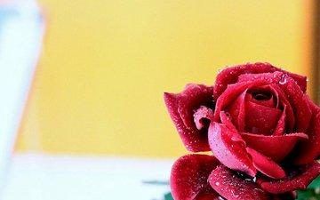 macro, background, drops, rose, bud