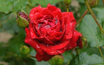 бутоны, капли, роза, красная