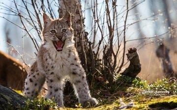 поза, рысь, клыки, хищник, испуг, оскал, пасть, дикая кошка, детеныш, сердитый, рысёнок
