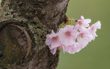 дерево, макро, вишня, сакура, цветки