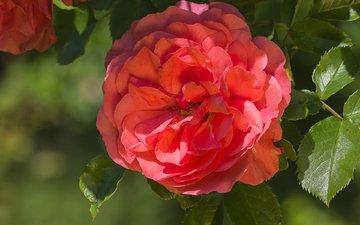 макро, роза, лепестки, красная, красота