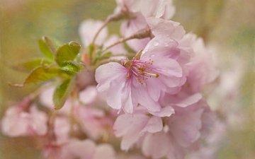 цветение, текстура, макро, вишня, сакура, цветки