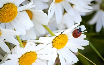 цветы, макро, насекомое, лето, лепестки, божья коровка, ромашки