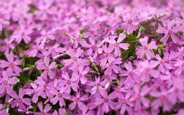 цветы, макро, розовые, флоксы