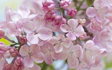 макро, весна, нежность, сирень