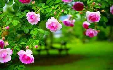 листья, роза, лепестки, сад, куст