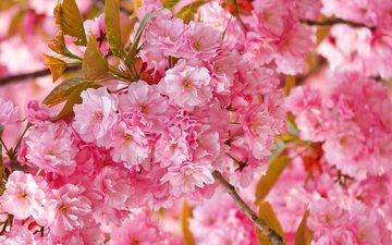 весна, сакура, нежность, розовая