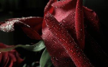 макро, капли, роза, лепестки, красная, боке, тёмно красный