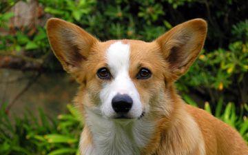 собака, красивый, порода, милашка, собаки, красивая, корги, породистая