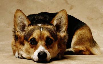 собака, красивый, порода, милашка, собаки, красивая, милый, корги, породистая