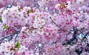 tree, spring, pink, cherry, sakura