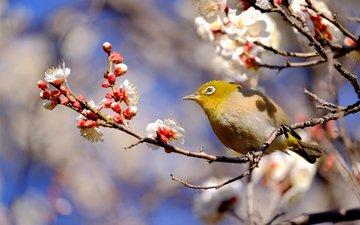 ветка, птица, весна, японская, слива, белоглазка