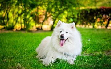 grass, dog, language, white, samoyed