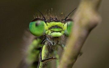 природа, макро, насекомое, стрекоза