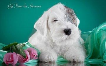 puppy, tulips, the sealyham terrier