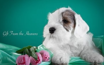 flowers, puppy, fabric, tulips, the sealyham terrier
