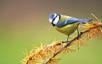 branch, bird, pine, tit, blue tit