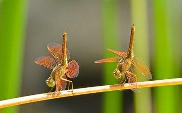 макро, насекомые, танец, парочка, дуэт, стрекозы
