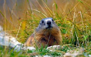 grass, alps, marmot, rodent