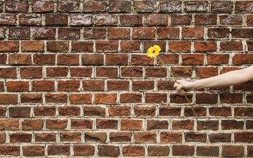 hand, flower, wall, gift, gerbera
