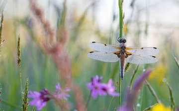 цветы, трава, макро, насекомое, лето, крылья, стрекоза