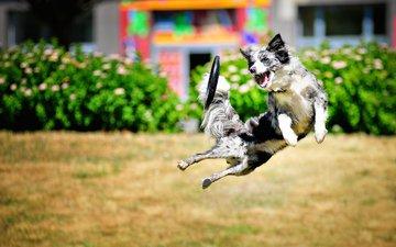 собака, прыжок, игра